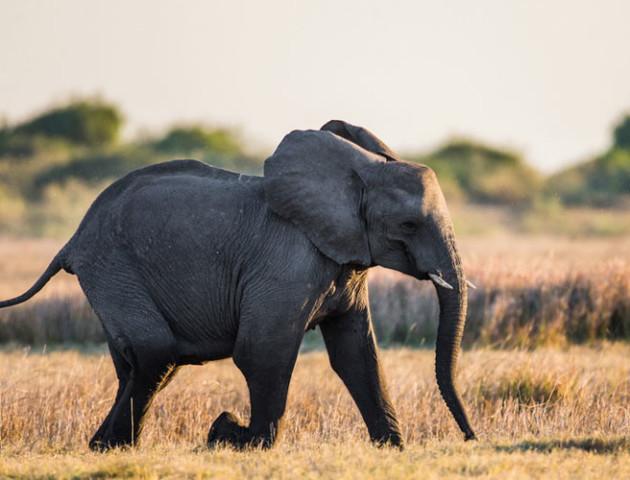 """Науковці виявили новий вид слона. Він вдало """"ховався"""""""