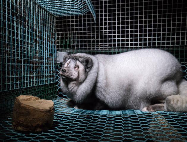 Правда про життя тварин, яких вирощують на хутро у Фінляндії: лисиці з ожирінням і заплаканими очима