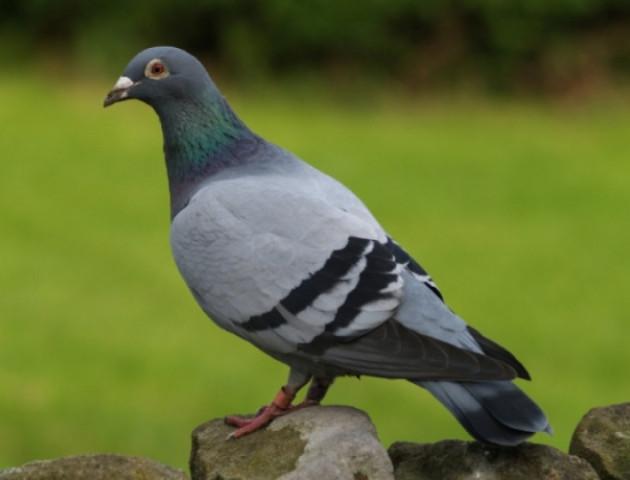 На Волині знайшли польського голуба, - соцмережі