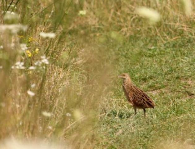 Птах у траві потрапив до об'єктиву волинського фотографа. ФОТО