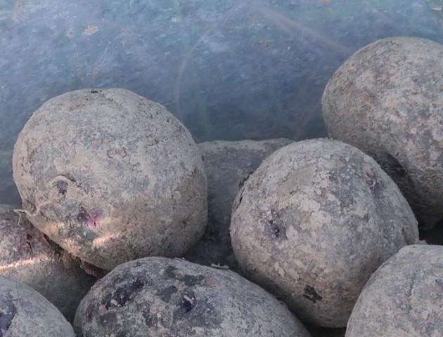 Як на Волині вирощують фіолетову картоплю. ВІДЕО