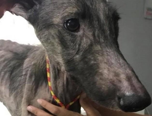 Для собаки, яку колишні  хазяї морили голодом, шукають нову родину. ВІДЕО