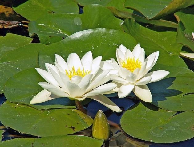 На Шацьких озерах цвіте водяна лілія. Дивовижні фото