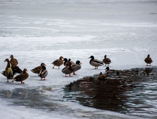 Як на Волині дбають про знаменитих качок, що зимують у Воротневі. ФОТО