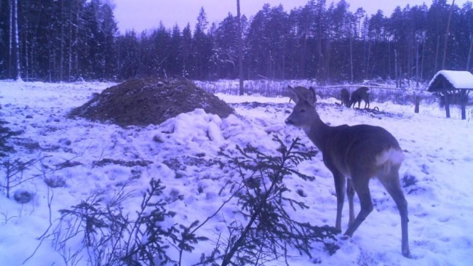 Звички та потреби диких тварин на Волині вивчають із допомогою камер відеоспостереження
