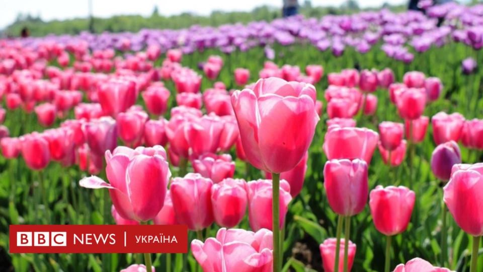 «Українська Голландія»: під Чернівцями на одному гектарі висадили 55 тисяч тюльпанів. ФОТО
